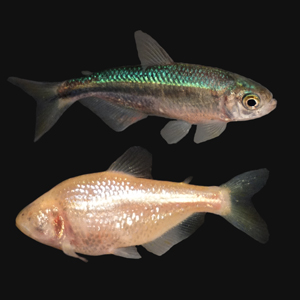 The fish Astyanax mexicanus exists in two distinct forms: A surface-dwelling form with eyes (top) and a blind, cave-dwelling form without eyes (bottom). A new study reveals that the cave-dwelling form loses its eyes due to the silencing of more than two dozen genes—many of which are shared by humans and have been implicated in human eye disorders. Image credit: NIH (Click image to download hi-res version.)