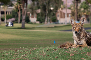 A coyote reclines on a golf course in Scottsdale, Arizona. A new global study of 57 mammal species quantifies the degree to which human-modified landscapes impede the movement of wild animals. Image credit: Flickr user Dru Bloomfield, Creative Commons (CC BY 2.0) (Click image to access original.)