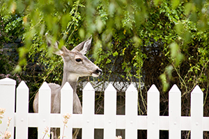 A deer gazes from behind a fence in Carson City, Nevada. A new global study of 57 mammal species quantifies the degree to which human-modified landscapes impede the movement of wild animals. Image credit: Flickr user Scott Schrantz, Creative Commons (CC BY-NC-SA 2.0) (Click image to access original.)