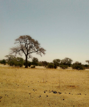 This photo, taken outside the town of Diakhao, Senegal in March of 2018, illustrates the conditions of the Sahel during the dry season. The Sahel is the transition zone that lies south of the Sahara Desert, and fluctuates between very dry, desert-like conditions and wetter, more temperate conditions every year. Expansion of the Sahara is putting pressure on Sahel communities, such as Diakhao, that rely on seasonal increases in rainfall during the wet season. Image credit: Mamadou Faye/courtesy Wassila Thiaw, NOAA CPC (Click image to download hi-res version.)