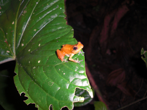Frogs of the genus Diasporus, such as this individual, are among the most common nocturnal frogs in El Copé, Panama, to survive following an outbreak of chytrid fungus in 2004. Image credit: Graziella DiRenzo (Click image to download hi-res version.)