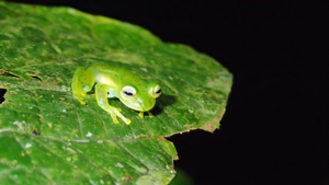 The emerald glass frog (Espadarana prosoblepon) is one of the most abundant species at the study site in El Copé, Panama, following an outbreak of chytrid fungus in 2004. Image credit: Graziella DiRenzo (Click image to download hi-res version.)