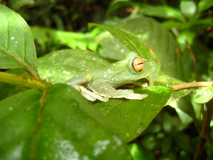 The Canal Zone tree frog (Hypsiboas rufitelus) also survived an outbreak of chytrid fungus in El Copé, Panama, in 2004. Image credit: Graziella DiRenzo (Click image to download hi-res version.)