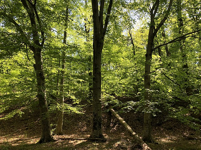 American beech trees. Credit: Famartin, CC BY-SA 4.0.
