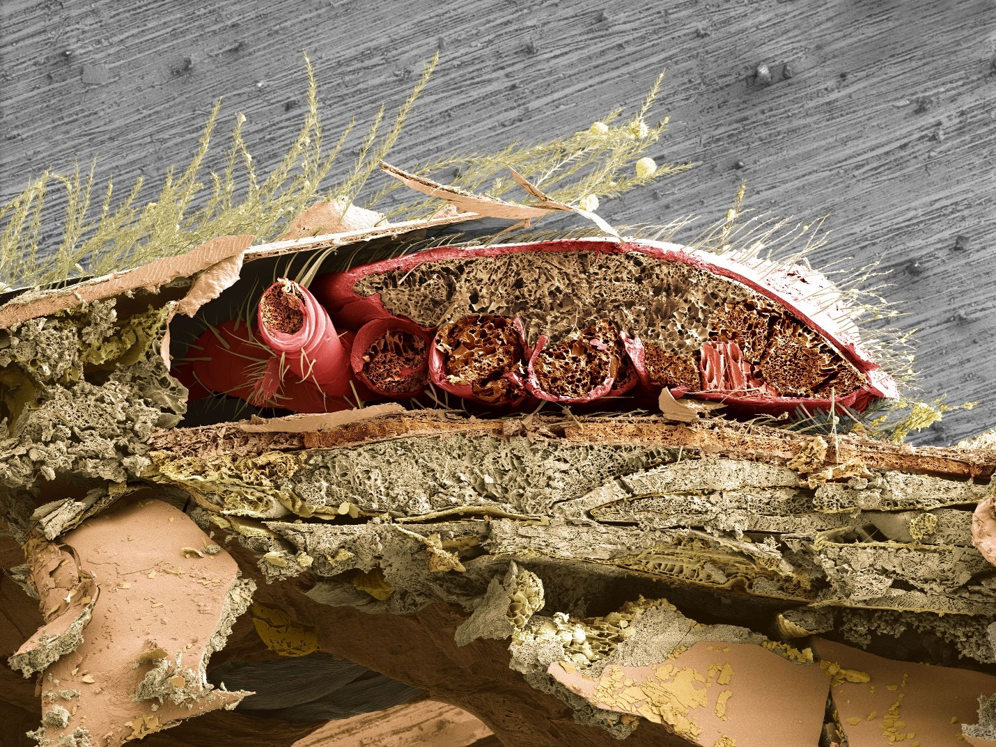 In this cross-section of a honey bee's abdomen, a parasitic varroa mite (pink/orange) can be seen lodged between the bee's abdominal plates, where the mite feeds on honey bee fat body tissue. Image credit: UMD/USDA/PNAS (Click image to download hi-res version.)